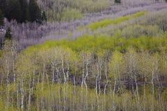 пуща осины Стоковое Фото