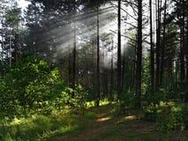 пуща солнечная Стоковое Фото