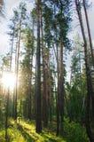 Пуща сосенки в солнце Стоковая Фотография RF