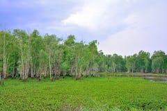пуща Таиланд евкалипта Стоковые Изображения