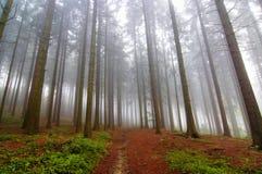 пуща тумана conifer стоковое фото rf