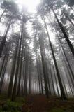 пуща тумана conifer стоковые фотографии rf