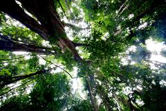 Пуща 500 лет старых деревьев Стоковое Изображение