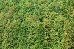 пуща conifer стоковая фотография rf