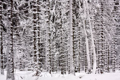 Пуща Snowy елевая стоковые фото