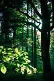 пуща sunlit Стоковое Фото