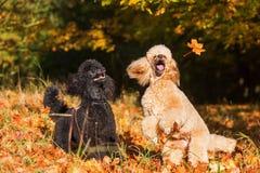 2 пуделя с листьями осени Стоковое Изображение RF