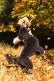 2 пуделя с листьями осени Стоковое фото RF