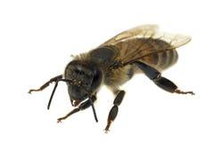 пчела близкий o вверх Стоковые Фото