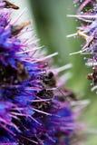 Пчела вползая на голубом и фиолетовом цветке Стоковая Фотография RF