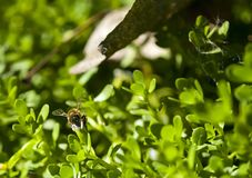 Пчела в Аризоне стоковые изображения rf
