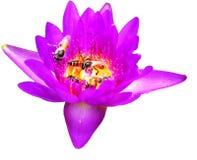 Пчела в изолированной предпосылке лотоса белой Стоковые Изображения RF