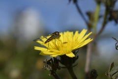 Пчела в конце вверх Стоковые Изображения RF
