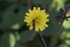 Пчела в конце вверх Стоковые Фото