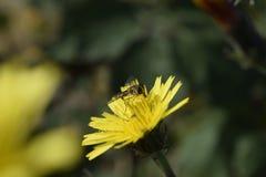 Пчела в конце вверх Стоковое Изображение RF