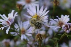 Пчела в конце вверх Стоковое Фото
