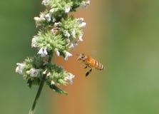 Пчела в полете Стоковые Изображения