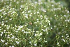 Пчела в поле Стевии стоковое фото