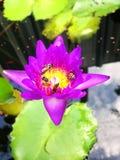 Пчела в пруде красной воды лотоса стоковое изображение rf