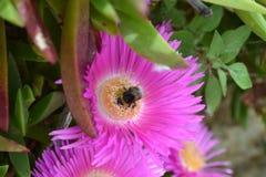 Пчела в розовом цветке стоковые фото