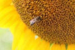 Пчела в солнцецвете Стоковые Изображения RF