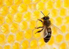Пчела в соте стоковые изображения
