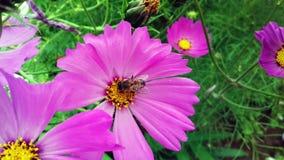 Пчела в фиолетовом цветке, сад в Бразилии Стоковые Фото