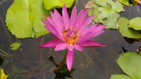 пчела в цвете пинка лотоса красоты зеленом на глубокой прозрачной воде Стоковое Изображение RF