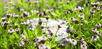 Пчела в onlinecool Lippii, постоянном, траве ацтеков, собрании меда стоковое изображение rf