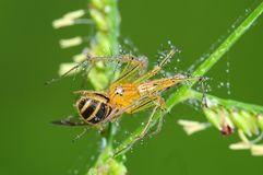 пчела есть спайдер парка lynx Стоковое Фото