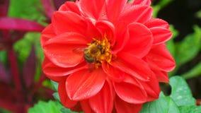 Пчела есть цветень от цветка стоковое изображение rf