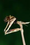 пчела есть mantis Стоковое Изображение RF
