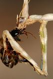 пчела есть mantis gottesanbeterin Стоковое Изображение