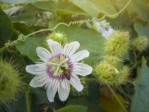 Пчела ест нектар от цветня зловонного passionflower, passionflower Scarletfruit или воняя passionflower стоковая фотография rf