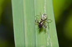 пчела ест спайдер скачки Стоковое Изображение