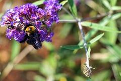 Пчела жаждает цветень стоковая фотография