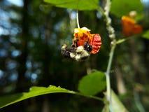 Пчела извлекая цветень от цветка стоковое фото