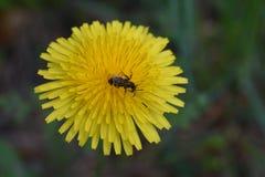 Пчела и желтое цветение цветка одуванчика стоковые фото