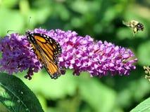 Пчела и монарх летания парка Торонто высокие на цветке 20 buddleja стоковая фотография rf