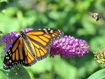 Пчела и монарх парка Торонто высокие на buddleja цветут 2017 стоковые фото