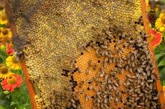 Пчела и пчелы Цветень пчелы от цветков Стоковое Фото