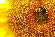 Пчела и солнцецвет Стоковая Фотография RF