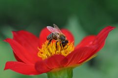 Пчела и тычинки стоковое изображение rf