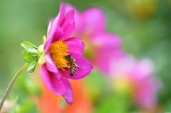 Пчела и тычинки стоковая фотография rf