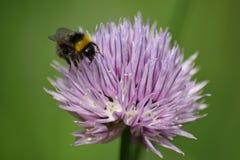 Пчела и цветок Стоковые Изображения