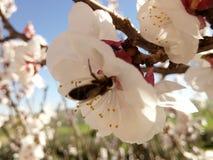 Пчела и flowers& x27; весна s стоковая фотография