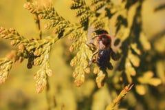 Пчела конца-вверх отдыхая на зеленом кусте стоковая фотография