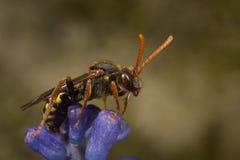 Пчела кукушки Nomada Стоковые Фотографии RF