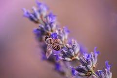 Пчела лаванды Стоковые Фотографии RF