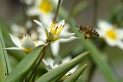 Пчела летания Стоковое Фото